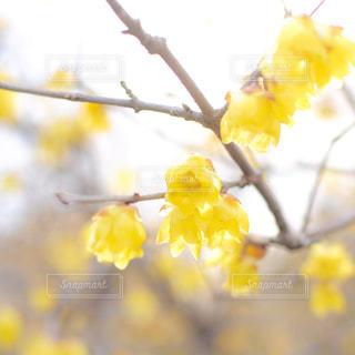 黄色の花の写真・画像素材[1084967]