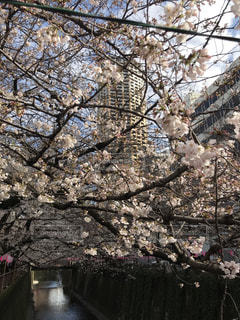 目黒川の桜 - No.1084992