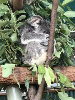 オーストラリアのコアラの写真・画像素材[1085373]