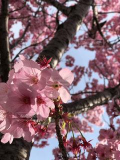 ピンクの花の木の写真・画像素材[1085248]