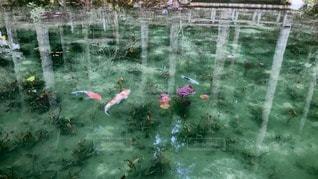 モネの池の写真・画像素材[58432]
