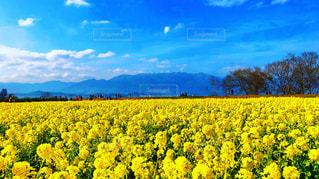 春色に染まる菜の花畑の写真・画像素材[1035081]