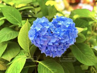 ハートの紫陽花の写真・画像素材[1245265]