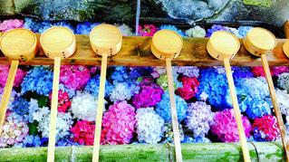 紫陽花の手水舎の写真・画像素材[1245267]