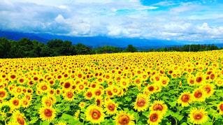ひまわり畑にて^_^の写真・画像素材[1388716]