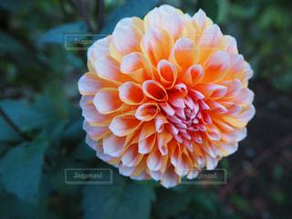 近くの花のアップの写真・画像素材[1085523]