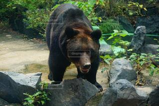 汚れフィールド上を歩く大きな黒い熊の写真・画像素材[1086412]
