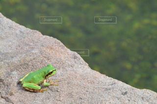 座っているカエルの写真・画像素材[1088677]