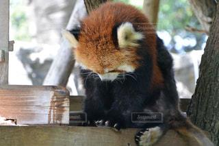お辞儀しているレッサーパンダの写真・画像素材[1088683]