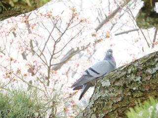 鳩と桜の写真・画像素材[1993485]