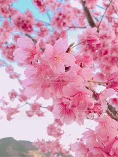 お花見での桜の写真・画像素材[1085897]