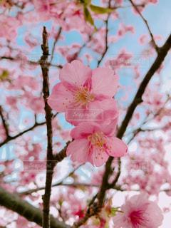 お花見での桜の写真・画像素材[1085899]
