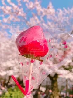 お花見でいちご飴の写真・画像素材[1085901]