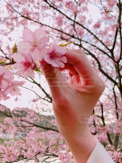 桜を見つけたの写真・画像素材[1085969]