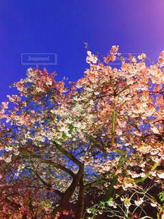 夜桜ライトアップの写真・画像素材[1085971]