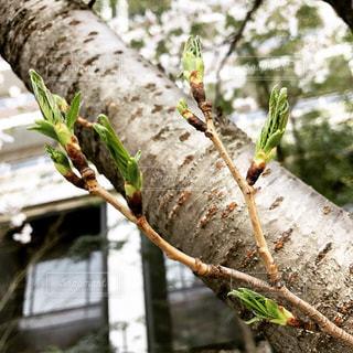 葉桜の写真・画像素材[1090502]