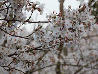 満開の桜の写真・画像素材[1086292]
