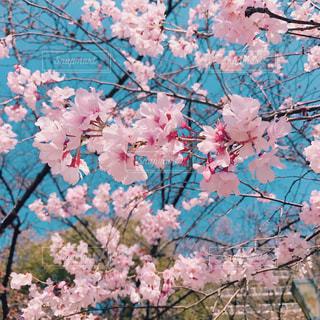 四月のさくらの写真・画像素材[1264613]