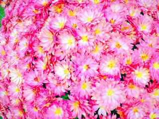 ざる菊のアップ ピンクver.の写真・画像素材[1086465]