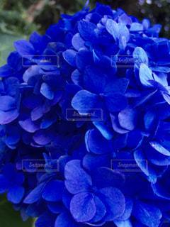 なんて立派な紫陽花の写真・画像素材[1087814]