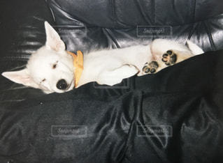 ソファーで寝ている子犬の写真・画像素材[1116859]