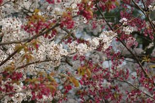 上賀茂神社の写真・画像素材[1112701]