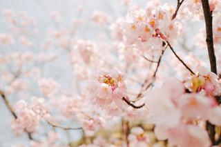 桜の写真・画像素材[1086812]