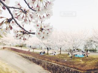 桜で花見の写真・画像素材[1108723]