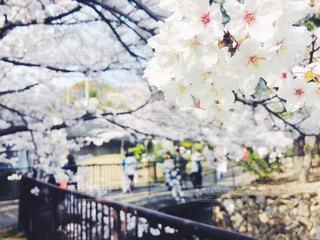 白い桜で花見の写真・画像素材[1108725]