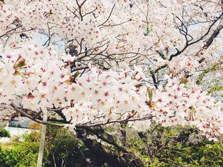 桜の写真・画像素材[1108728]