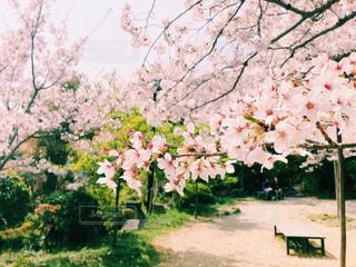 桜の写真・画像素材[1111015]