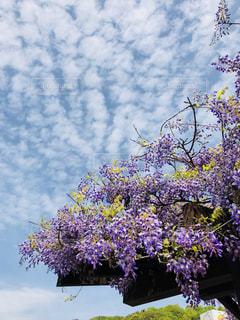藤の花の写真・画像素材[1130256]