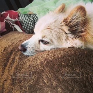 ベッドでうとうとしている愛犬ポメラニアン - No.1091055