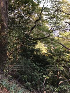 フォレスト内のツリーの写真・画像素材[1107214]