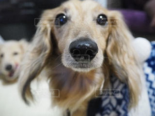 カメラを見て犬の写真・画像素材[900247]
