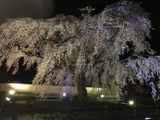 桜の大樹の写真・画像素材[1158424]