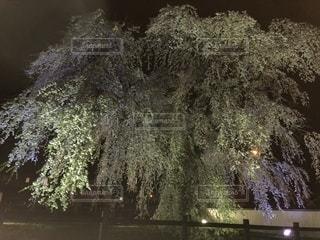 桜の大樹の写真・画像素材[1158425]