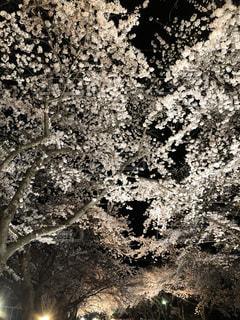桜街道の写真・画像素材[1158426]