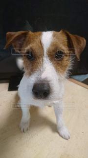 カメラを見て茶色と白犬の写真・画像素材[1087694]