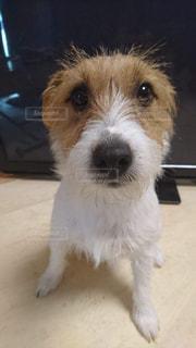 カメラを見て、小さな茶色と白犬の写真・画像素材[1087696]