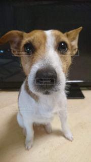 カメラを見て茶色と白犬の写真・画像素材[1087699]