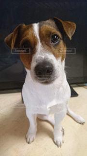 カメラを見て茶色と白犬の写真・画像素材[1087701]