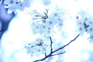 寒色の桜の写真・画像素材[1092631]