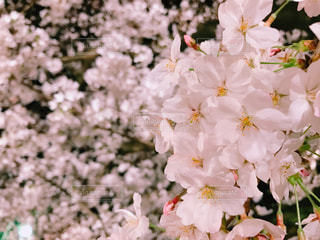 桜の写真・画像素材[1088341]