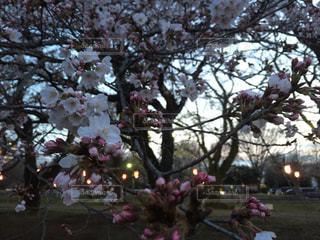 桜の写真・画像素材[1088639]