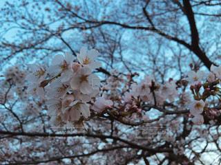 桜の写真・画像素材[1088640]