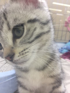 カメラを見ている猫の写真・画像素材[1090854]