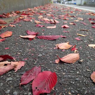 赤い落ち葉の写真・画像素材[1088803]