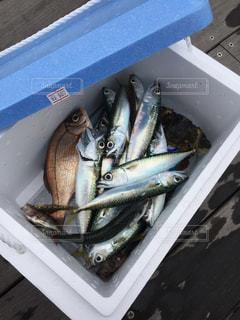 大漁の写真・画像素材[1089694]