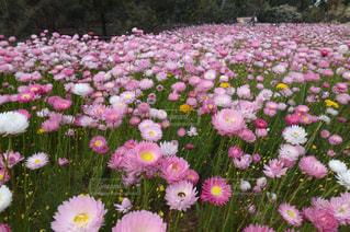 ピンクの花の束 - No.1090534